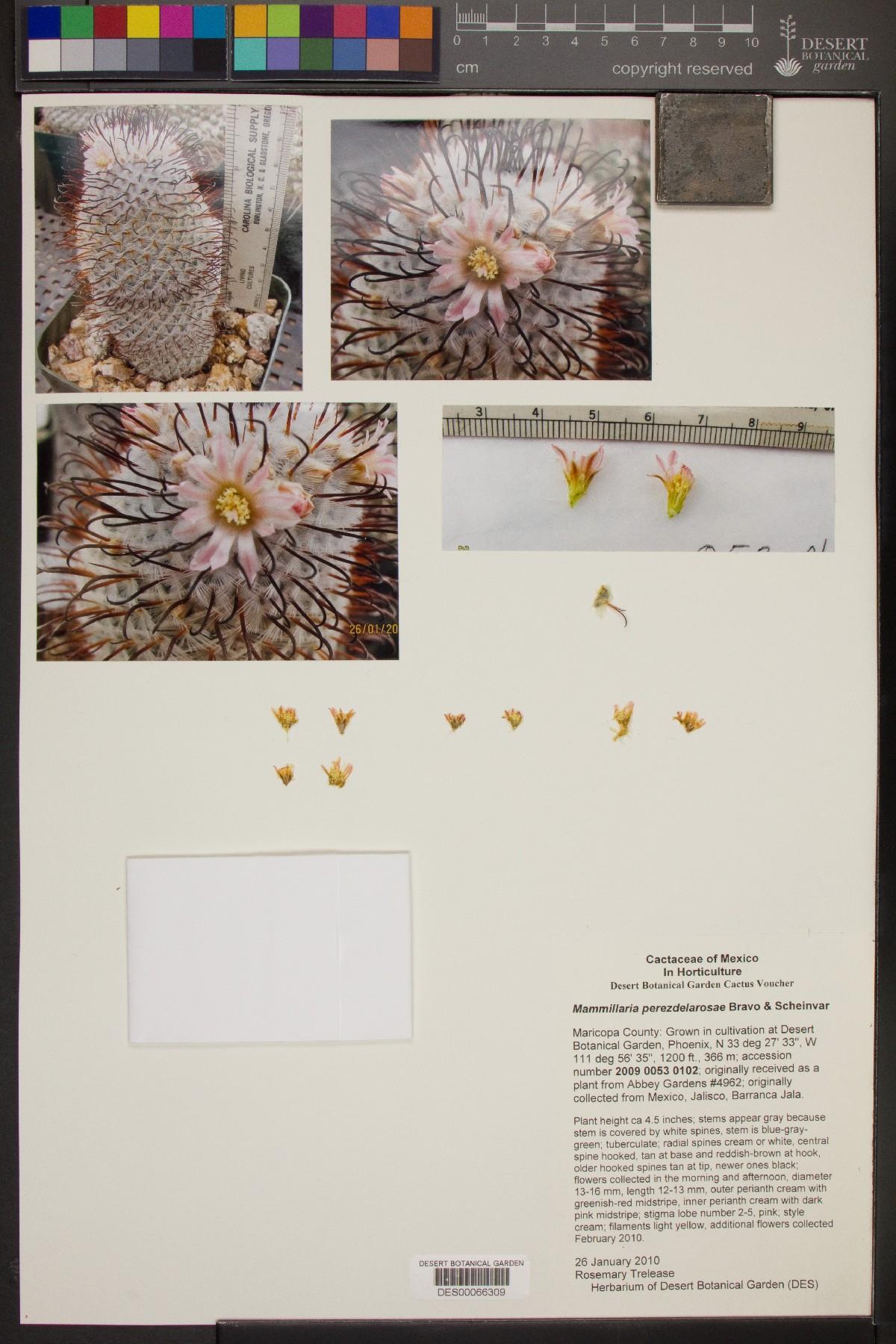 Mammillaria perezdelarosae image