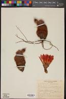 Echinocereus pectinatus image