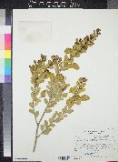 Image of Acacia craspedocarpa