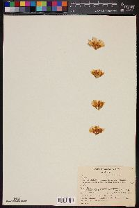 Image of Mammillaria sheldonii