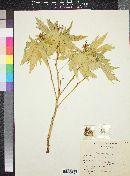 Jatropha macrorhiza var. septemfida image