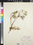 Orobanche fasciculata image
