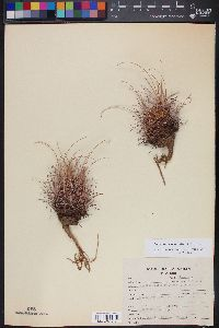 Image of Sclerocactus uncinatus