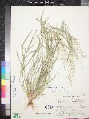 Eragrostis barrelieri image