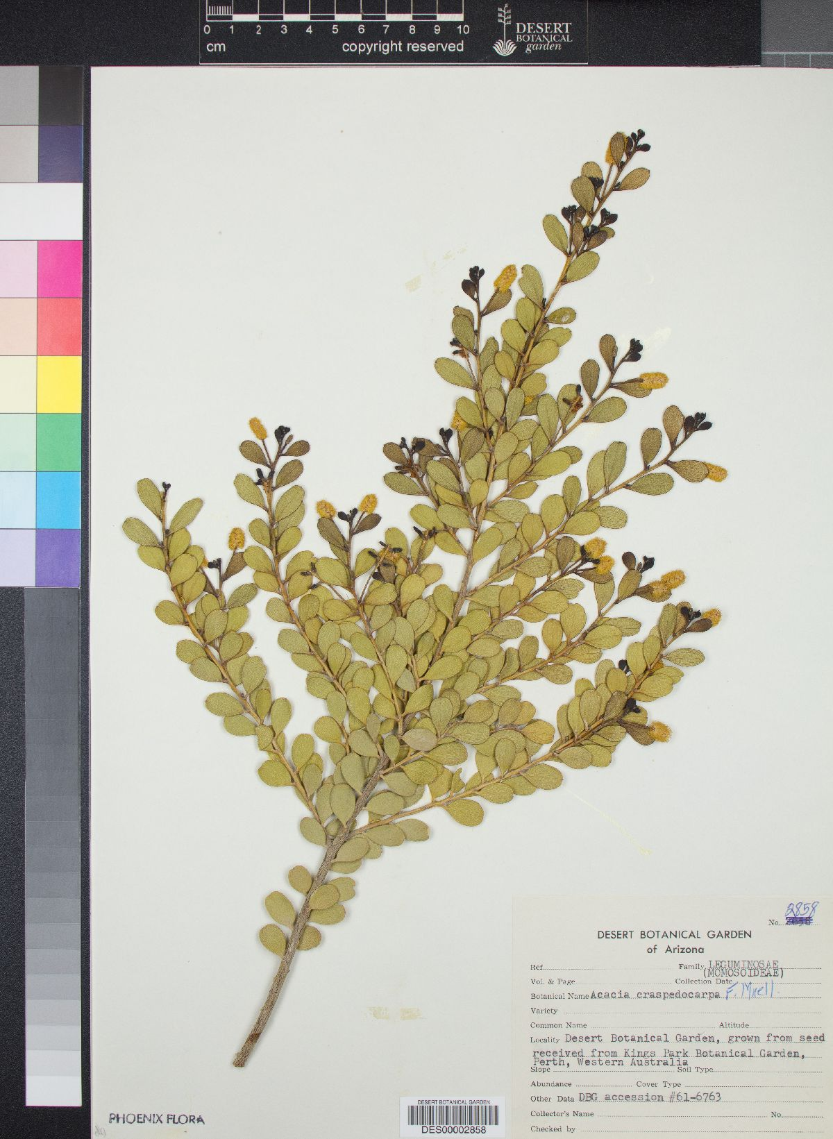 Acacia craspedocarpa image