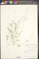 Desmodium procumbens var. exiguum image