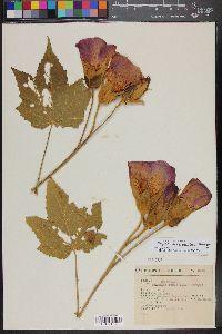 Image of Phymosia rosea