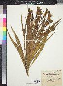 Image of Astianthus longifolius