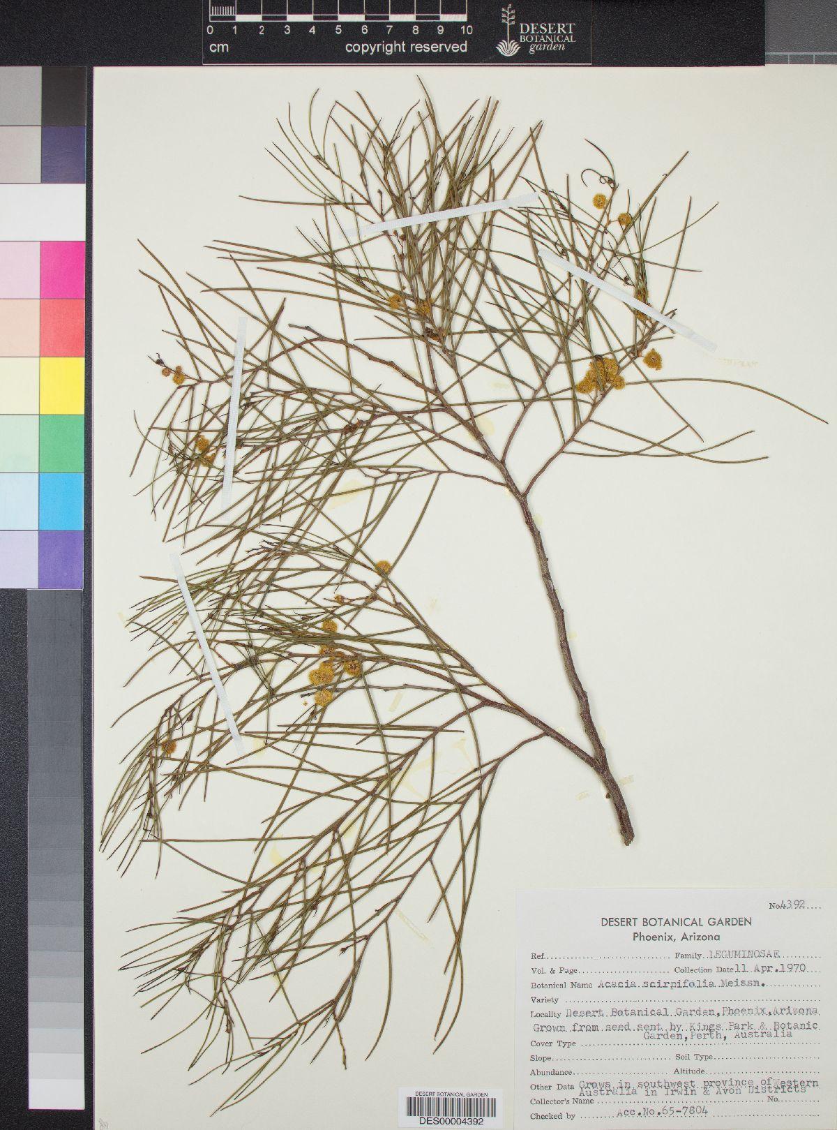 Acacia scirpifolia image