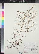 Image of Acacia euthycarpa