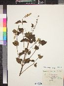 Image of Salvia rhyacophila