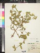 Image of Sida salviifolia