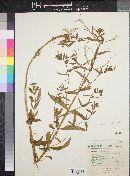 Epilobium mexicanum image