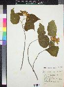 Image of Physodium dubium