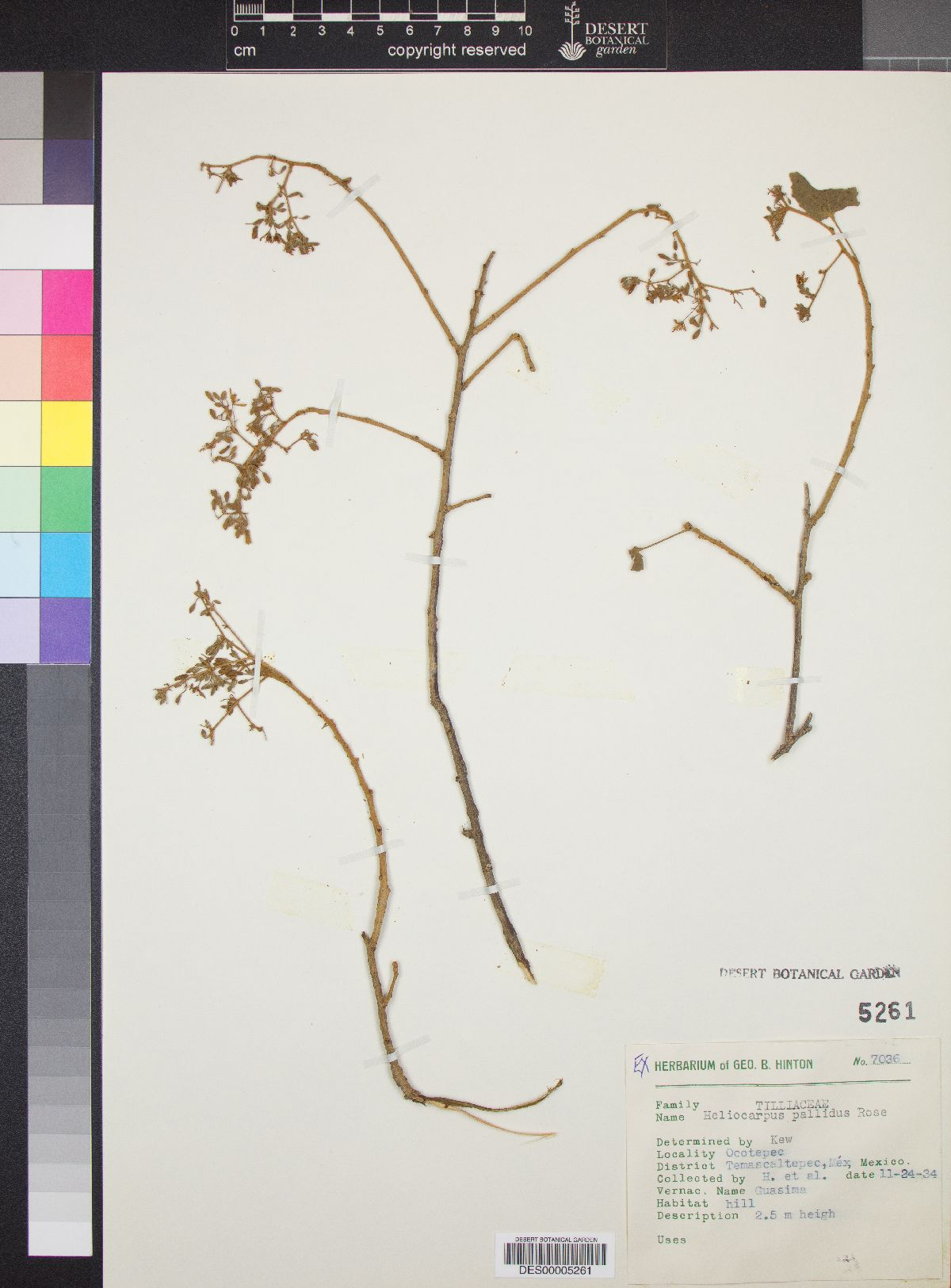 Heliocarpus pallidus image