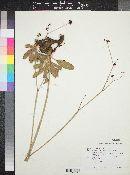Image of Eriogonum hemipterum