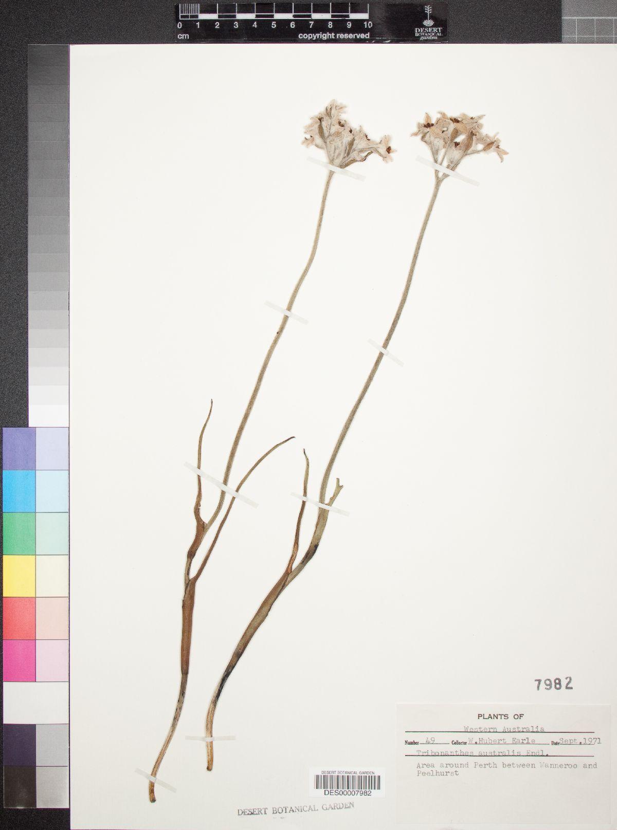 Tribonanthes australis image
