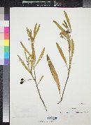 Image of Solanum symonii