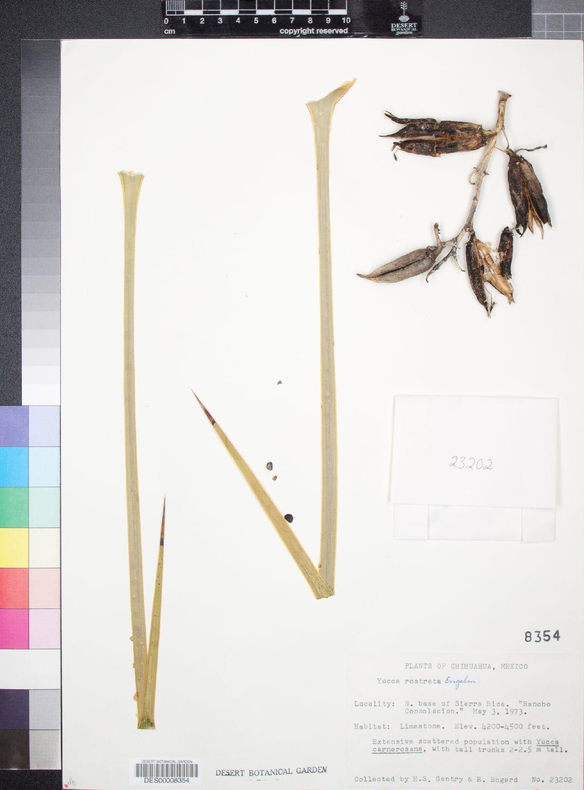 Yucca rostrata image