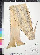 Image of Agave caeciliana