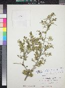 Condalia viridis image