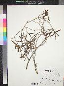 Struthanthus haenkeanus image