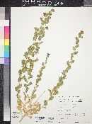 Image of Xylorhiza frutescens