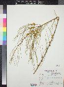 Image of Acacia multispicata