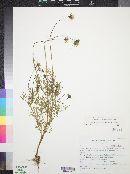 Cosmos parviflorus image