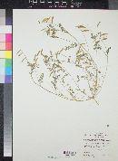 Image of Astragalus fresenii
