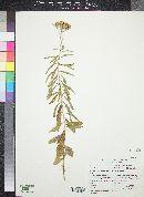 Stevia serrata image
