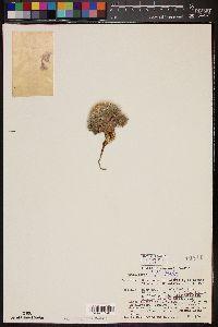 Image of Mammillaria lenta