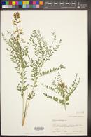 Peteria thompsoniae image