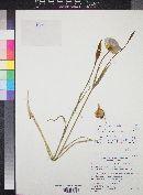 Calochortus aureus image