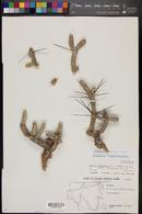 Image of Cylindropuntia anteojoensis