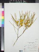 Image of Acacia microneura