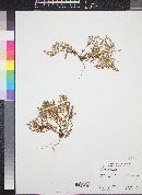 Chorizanthe coriacea image