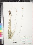 Carex unilateralis image