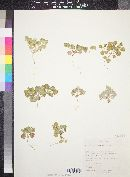 Atriplex graciliflora image