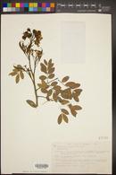 Caesalpinia palmeri image