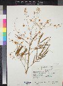 Image of Acacia delicata