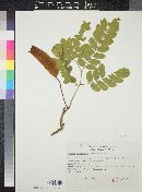 Image of Albizia longipedata
