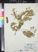 Image of Acacia chaconensis