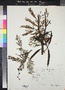 Image of Acacia chiapensis