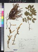 Acacia pringlei image