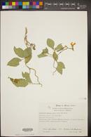 Canavalia brasiliensis image