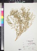 Atriplex elegans image