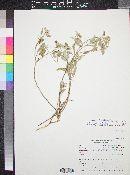 Croton pottsii var. pottsii image