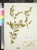 Forestiera pubescens image
