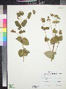 Guardiola platyphylla image